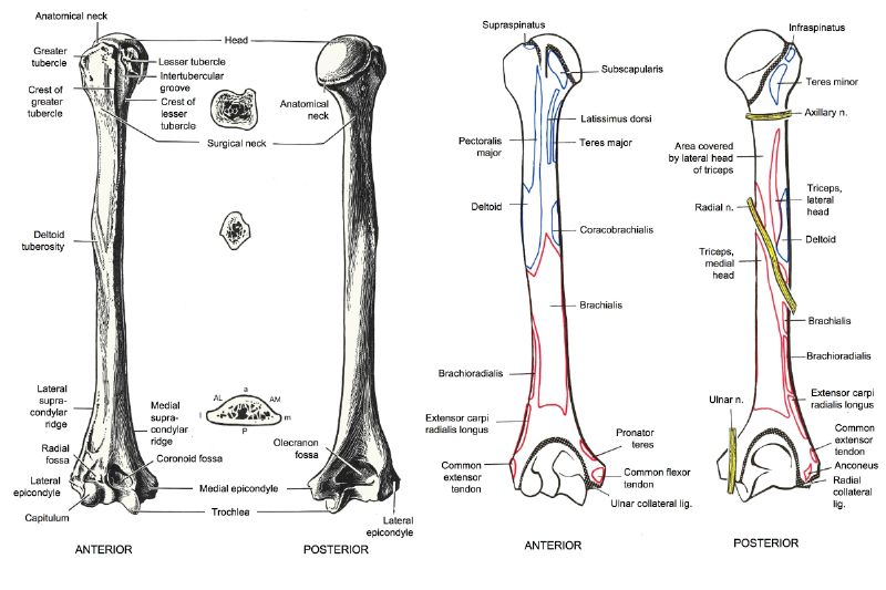 Foundation Figure: Day 9, Humerus and muscles of the upper arm