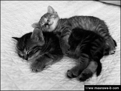 صور صور قطط كيوت 2020 خلفيات قطط جميلة جدا cats41.png