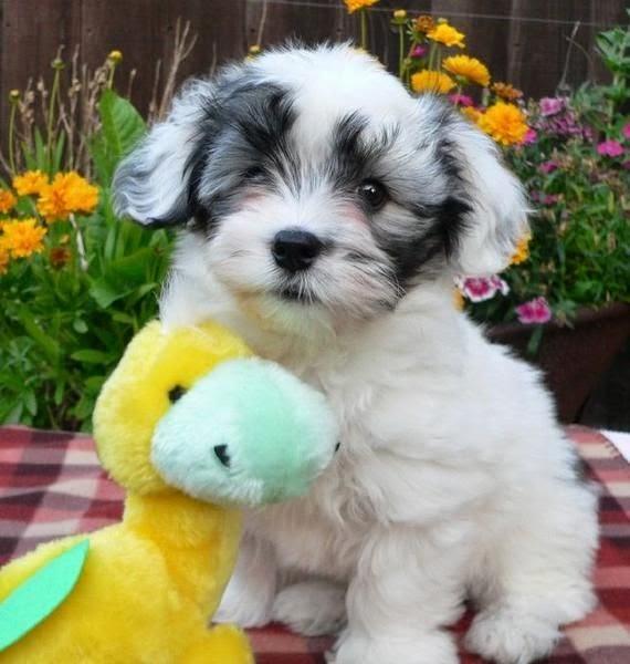 White Havanese Puppy