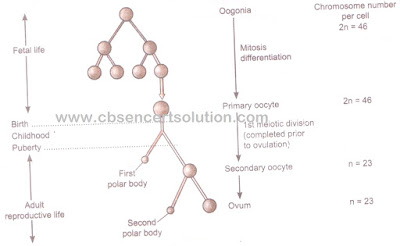 www.cbsencertsolution.com - fig of Oogenesis