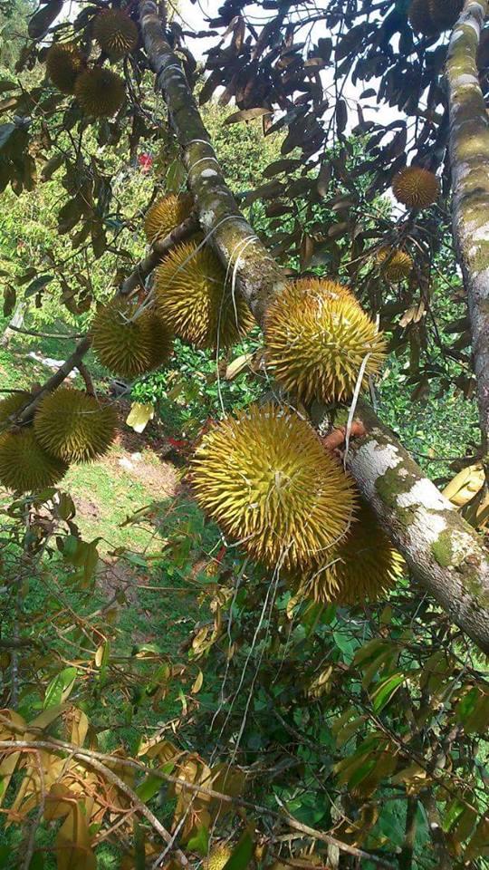 Pohon dan Buah Durian Lai