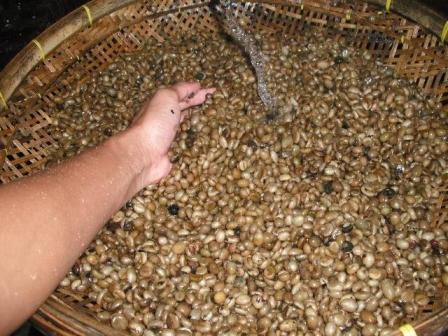 gambar cara membersihkan kopi luwak greenbeans