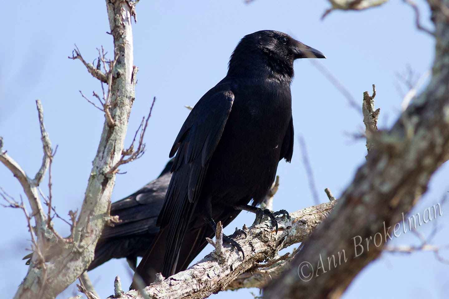 Ann Brokelman Photography: Fish Crow - the sound is really
