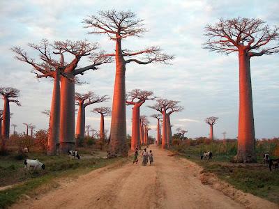Resultado de imagem para Baobá