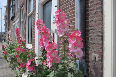 pink hollyhocks, pavement, Haafner