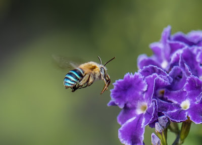 LA MARAVILLOSA ABEJA DE RAYAS AZULES - THE MARVELOUS BEE BANDED BLUE.