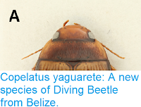 https://sciencythoughts.blogspot.com/2018/04/copelatus-yaguarete-new-species-of.html