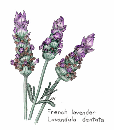 Basic Ingredients Lavender Oil For Cuts Burns And Rashes