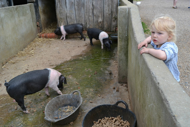 Tin Box Tot looking over a wall at pigs