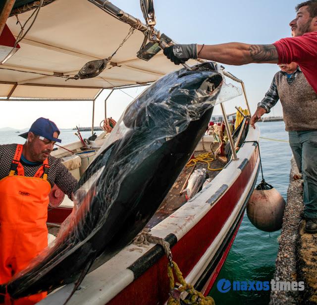 300 κιλά τόνοι η ψαριά καϊκιού στη Νάξο! (Photos & Videos)