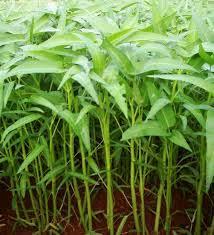 Obat Herbal Untuk Ambeien Ringan