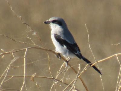Gray Lodge Wildlife Area auto tour California birding