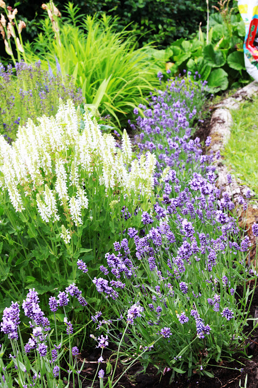 Lavendel Rabatter