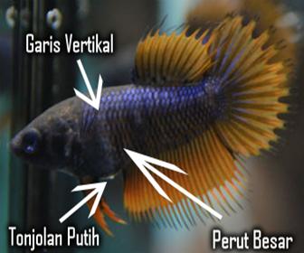 ciri induk betina ikan cupang siap kawin