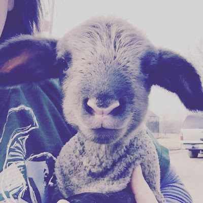 Lambing Season Begins, shared by Mitten State Sheep & Wool at the Clever Chicks Blog Hop