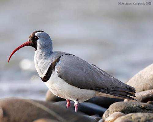 Indian birds - Image of Ibisbill - Ibidorhyncha struthersii
