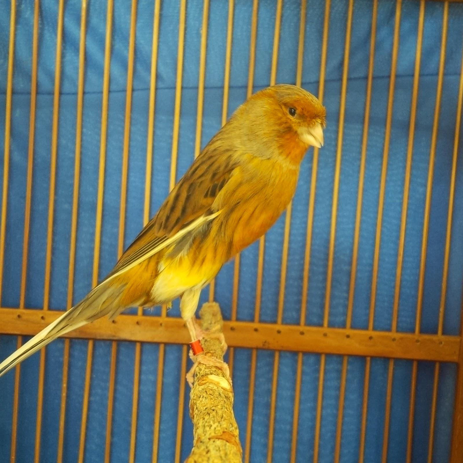 100 lebih gambar burung kenari yang ada di indonesia
