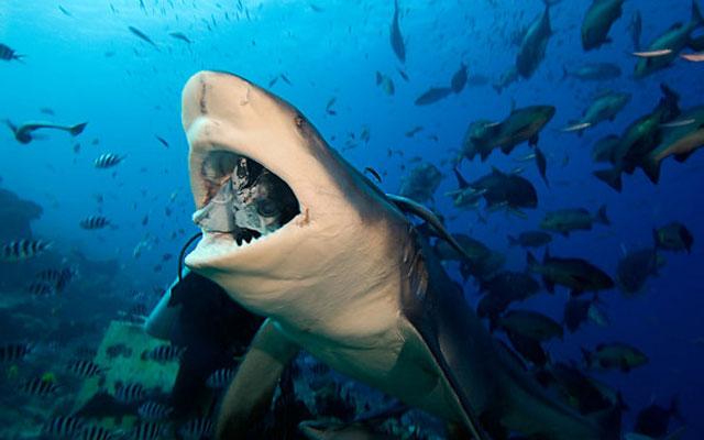 Hiu Banteng (Carcharhinus leucas)