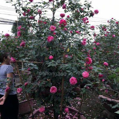 hoa hồng sapa cho hoa màu hồng