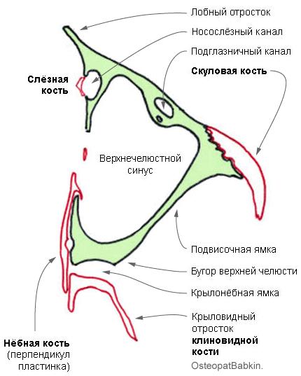 топография верхней челюсти скуло-верхнечелюстной (sutura zygomaticomaxillaris), небно-верхнечелюстной шов (sutura palatomaxillaris), слезно-верхнечелюстной шов, sutura lacrimomaxillaris, верхнечелюстной синус, крылонёбная ямка, подвисочная ямка, подглазничный канал, носослёзный канал.