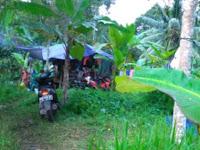 Pengungsi yang di Bukit dan Kebun Belum Dapat Bantuan