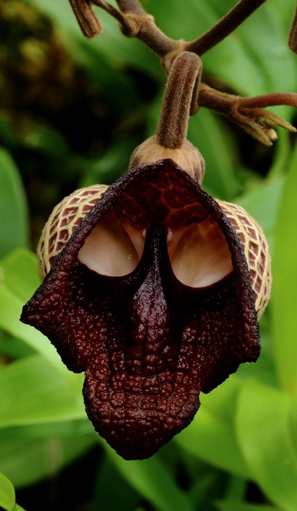 Darth Vader (Aristolochia Salvadorensis)-2