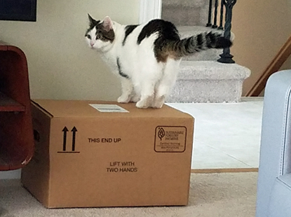 image of Olivia the White Farm Cat standing on a cardboard box in our living room