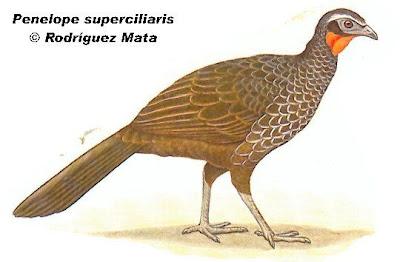 Yacupoí Penelope superciliaris