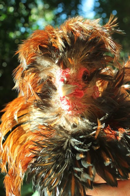 Polish Crested Black-laced Golden Frizzled Rooster