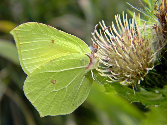 motyle, owady, cytrynki, łąka