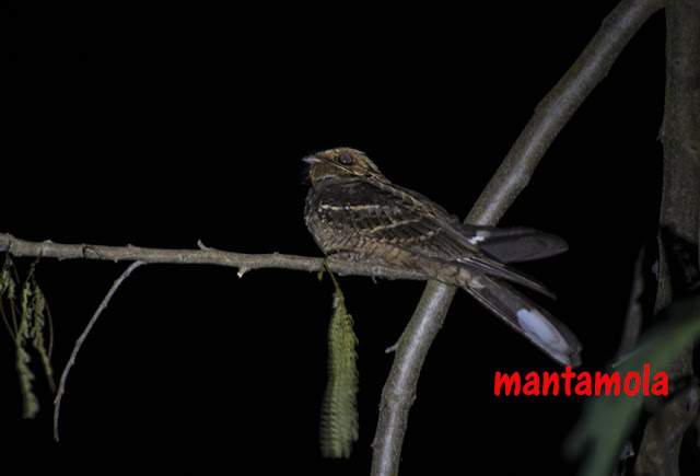 Large-tailed nightjar, Caprimulgus macrurus,