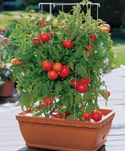 Plantar tomates em vaso