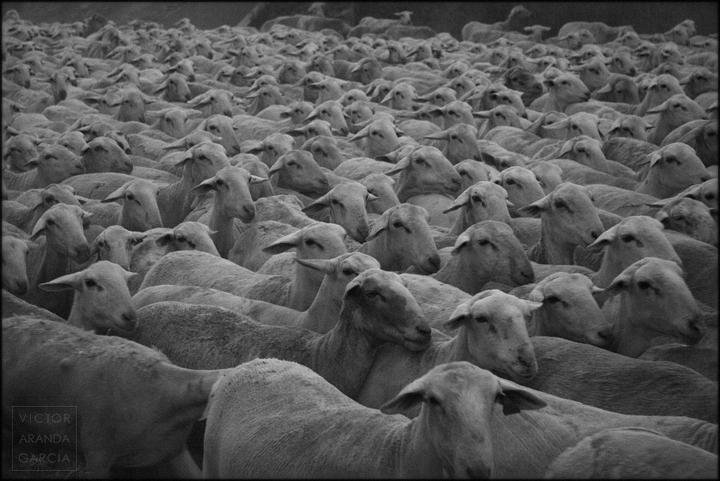 fotografía, ovejas, animales, rebaño, Arriba Extraña, Un_Mundo_Feliz, Fuente Álamo