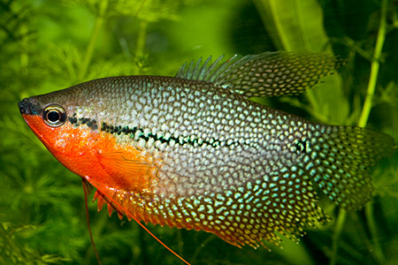 How to Breed pearl gouramis (trim gouramis)  - RictasBlog
