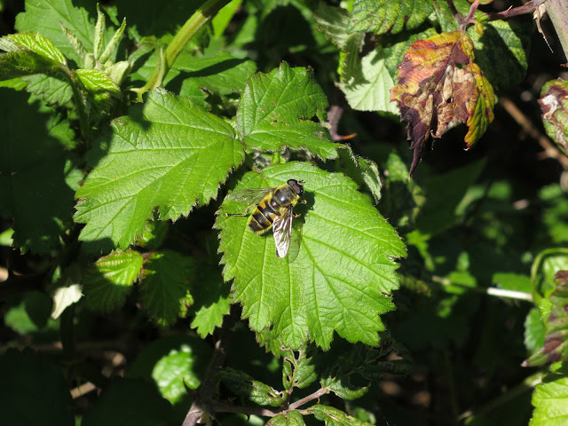 Hoverfly (Myathropa florea) on a blackberry leaf.