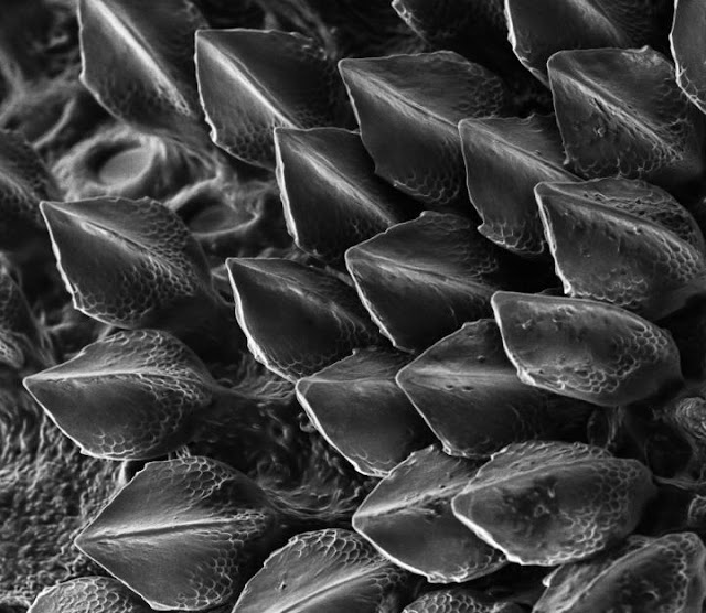 Codebreaker Turing's theory explains how shark scales are patterned