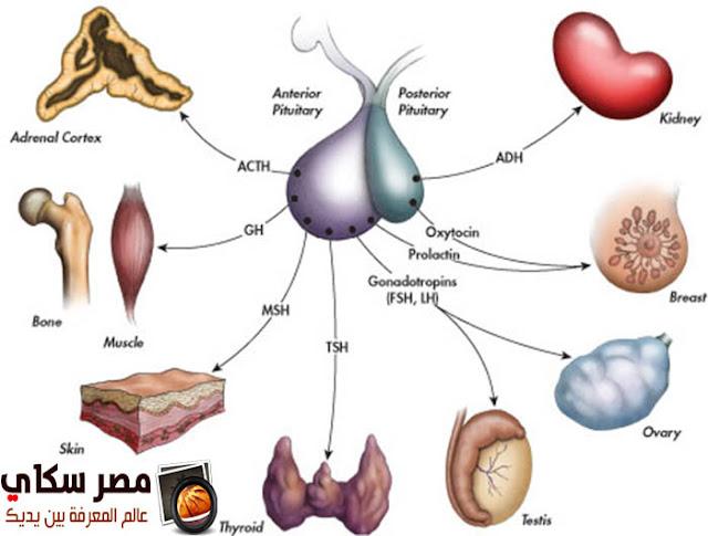 ماذا يفعل نقص أو زيادة الهرمونات بالجسم Hormones