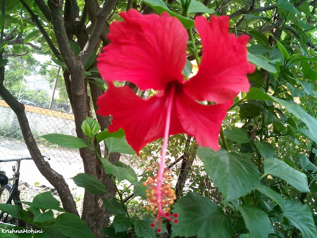 Image: Red Hibiscus (Jaswand) flower