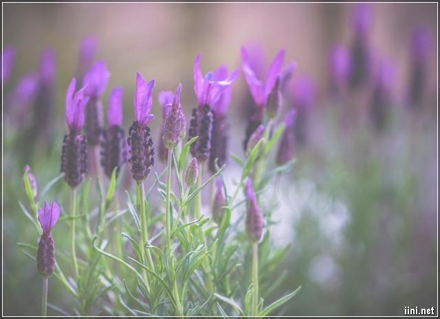 ảnh hoa oải hương đẹp