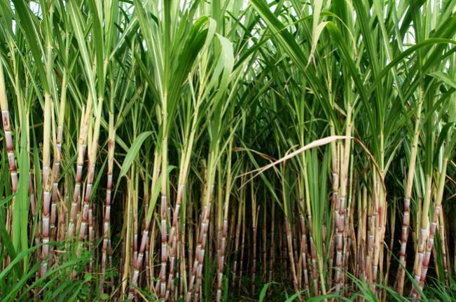 Cana-de-Açúcar, Cultivo da Cana-de-Açúcar
