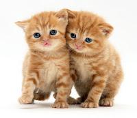 Sarı renkli, mavi gözlü, iki minnoş yavru kedi yan yana