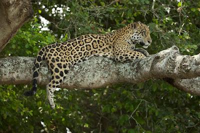 Jaguarland e Brazil's Emerald Oasis - Divulgação