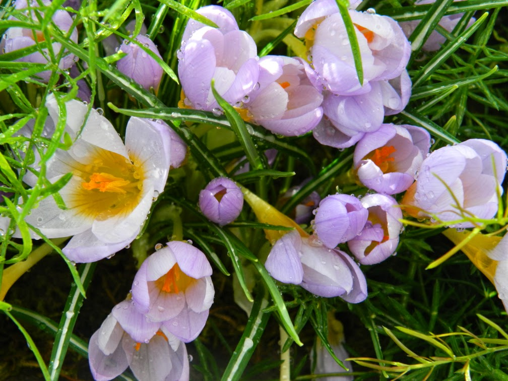 Allan Gardens Conservatory 2015 Spring Flower Show crocuses by garden muses-not another Toronto gardening blog