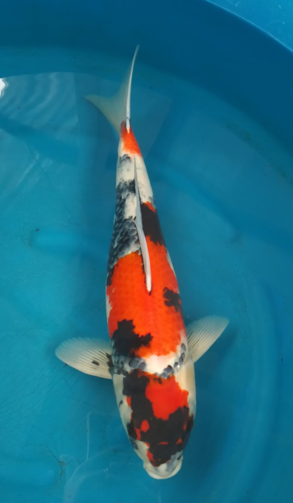 Koi For Sale Isa 2 Years Old Showa Size 55 Cm Now With