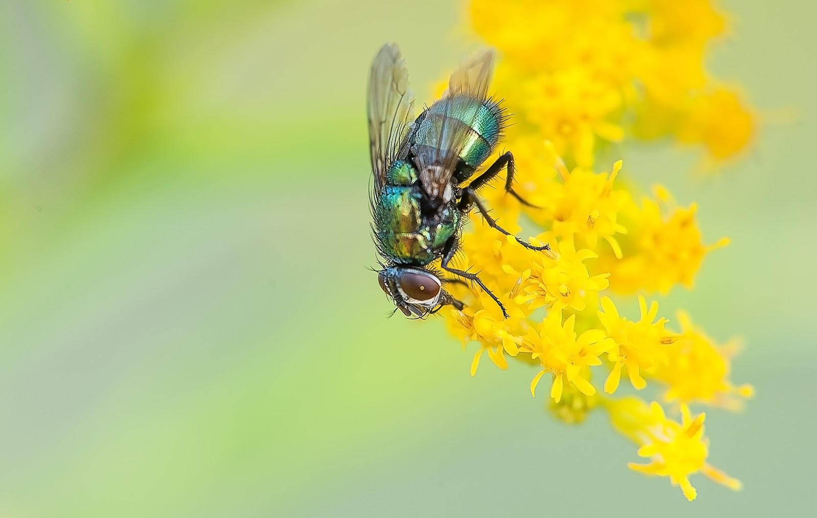 A common fly pollinating a flower.