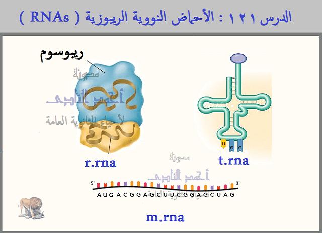 الأحماض النووية الريبوزية ( RNAs ) – الرسول m.rna  - الناقل t.rna – الريبوسومىr.rna