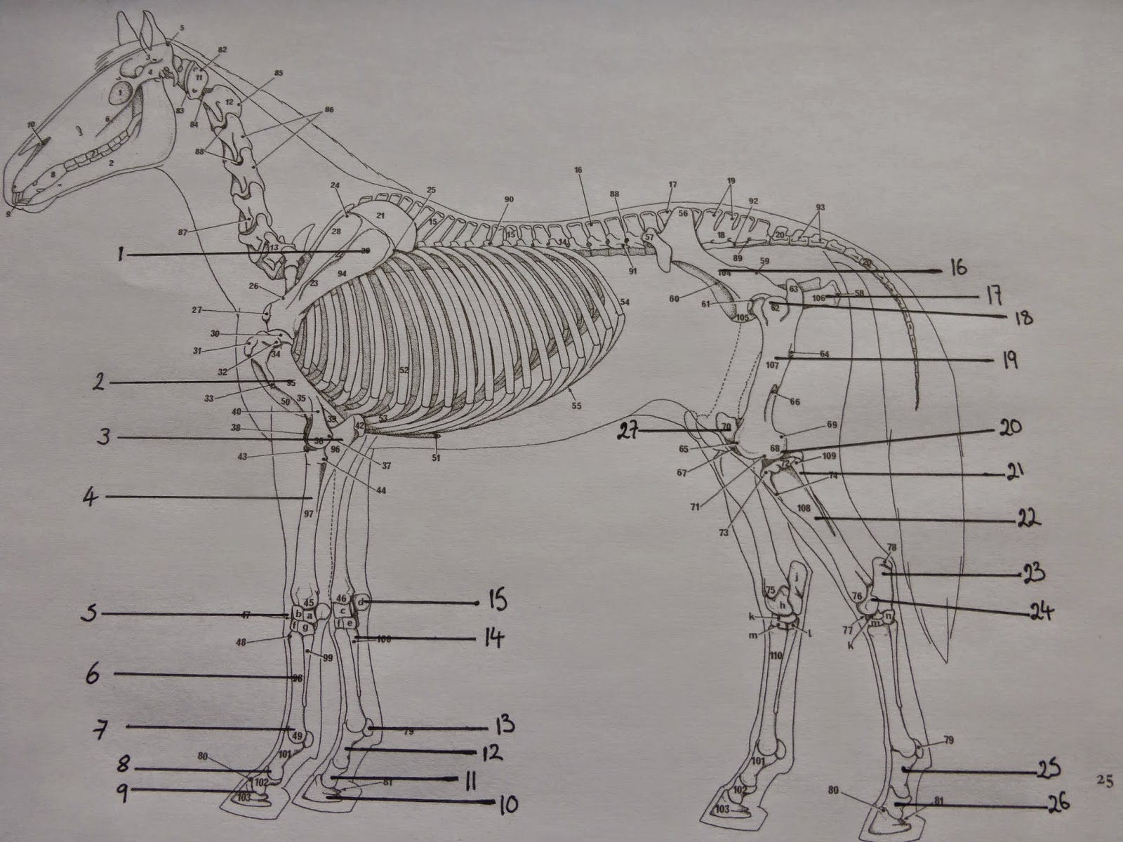 Horse Life And Love A Horses Skeleton