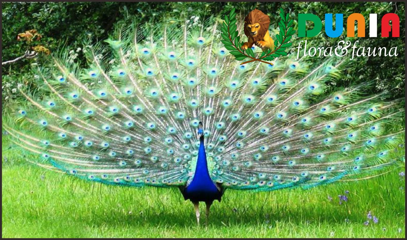 42 Gambar Burung Merak Terindah Terbaik