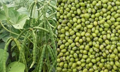 Hasil gambar untuk manfaat kacang hijau