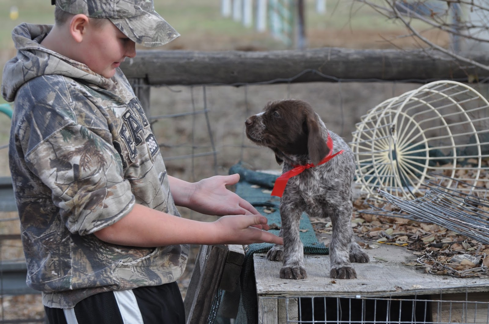 Idaho Outback Wire Haired Pointing Griffons, Puppies soon! : Porter ...